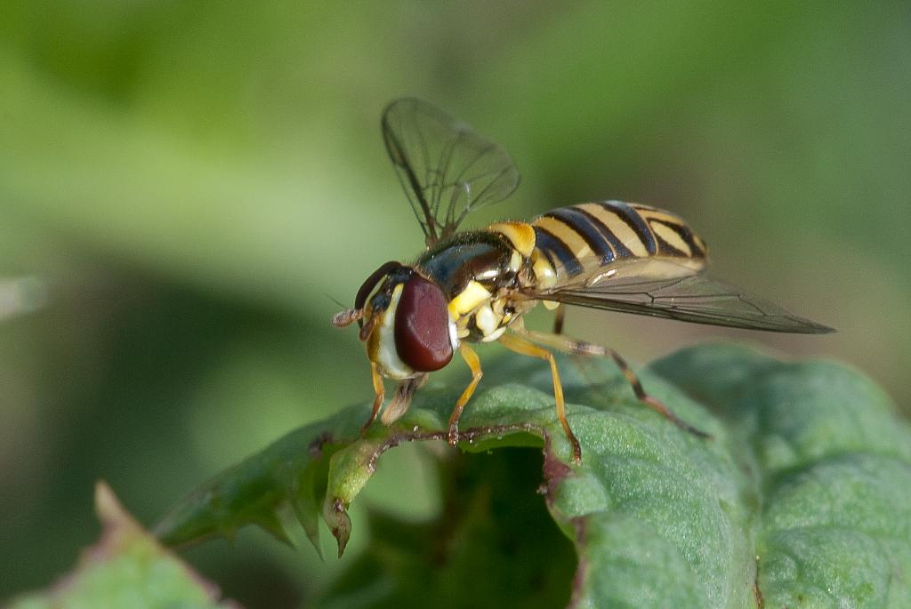 Hoverfly by N_Addy in Member Albums