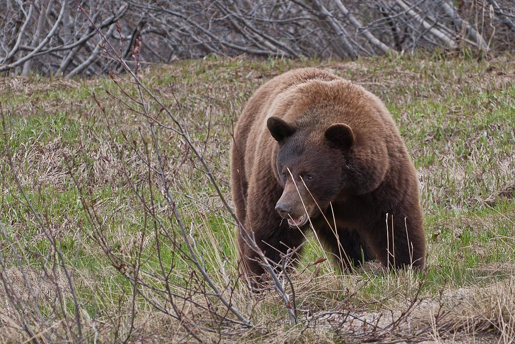 Yukon Grizzly by N_Addy in Member Albums